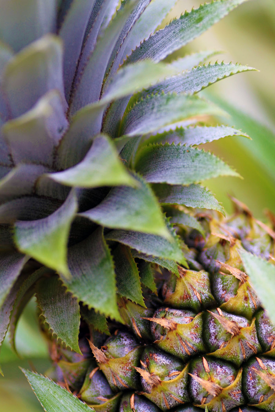 Pineapple in Moorea, French Polynesia