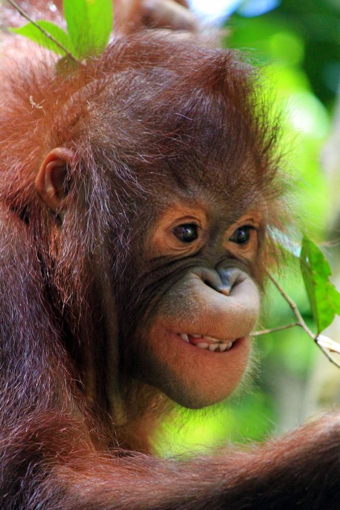 Orangutan in Borneo, Malaysia